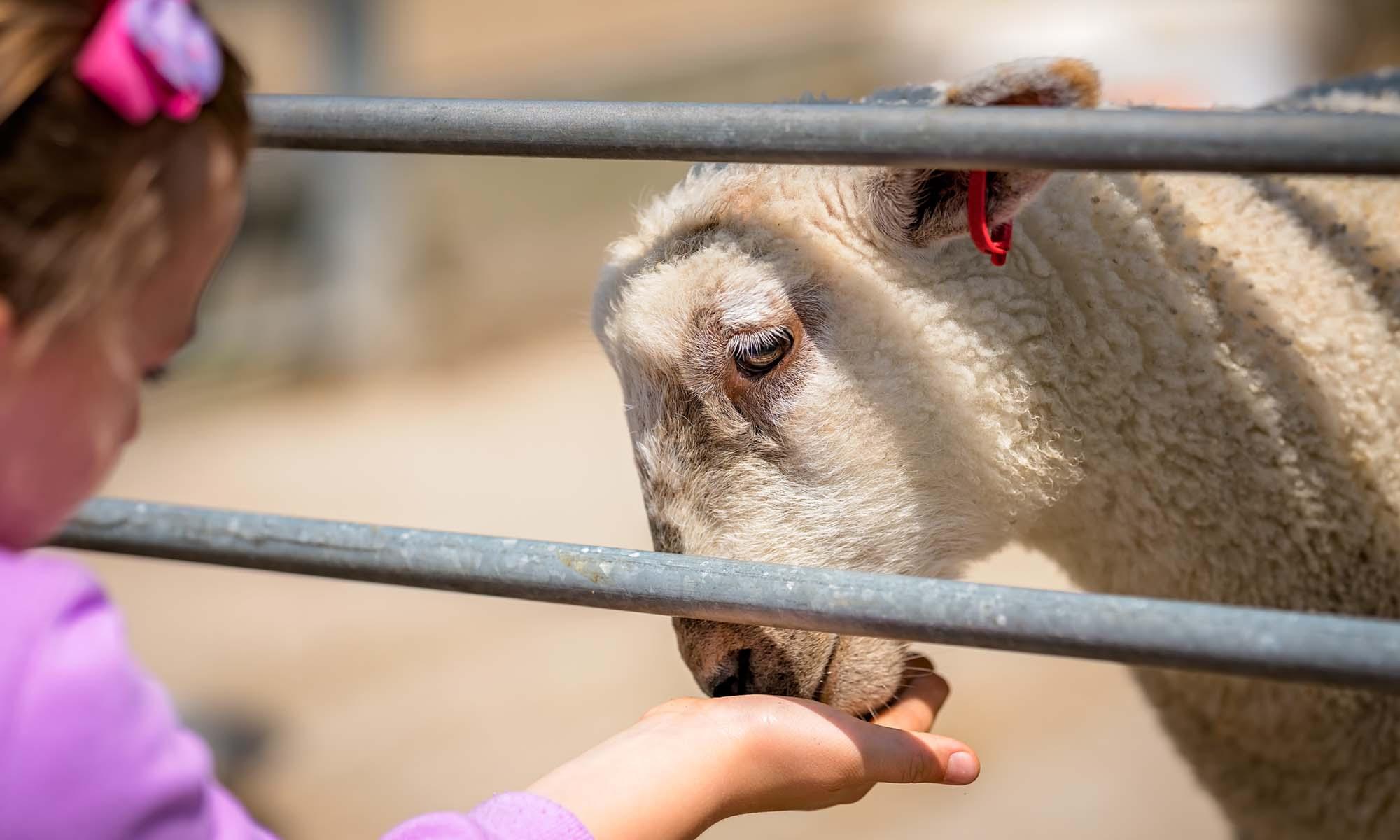 Schafe und Hirte